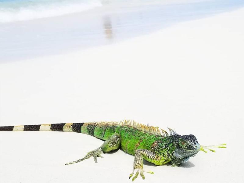 Coral-Beach-Gallery-Iguana